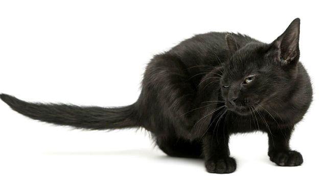 Блошистость у кошки