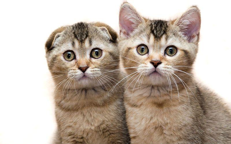 Почему у вислоухого котенка поднимаются ушки