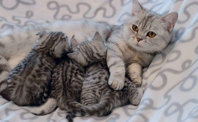 У вислоухой кошки поднялись уши