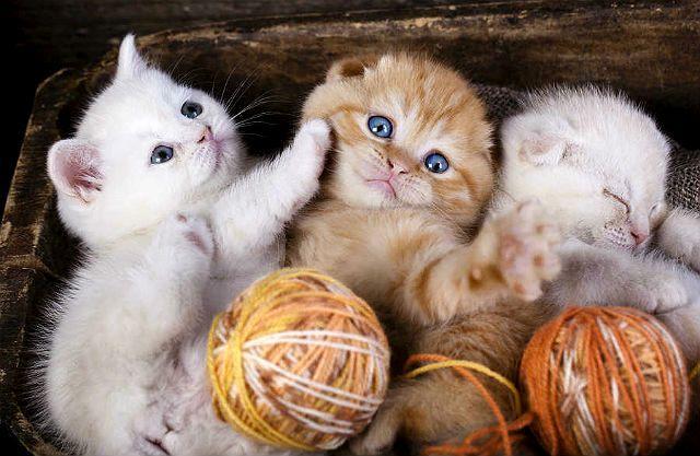 Вислоухие котята играют