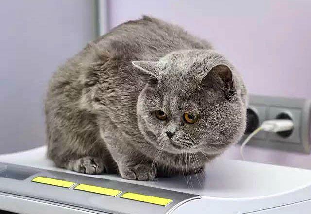 Избыток веса у британской кошки
