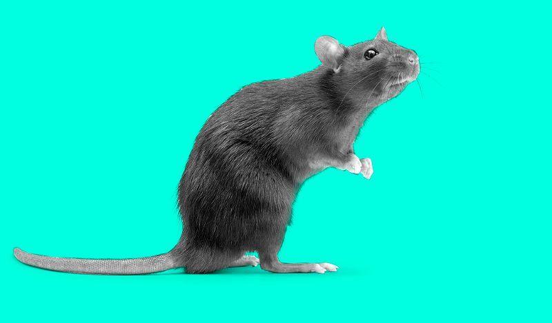 Язык тела крыс - главное фото