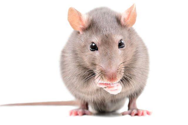 Язык тела крыс - выпученные глаза