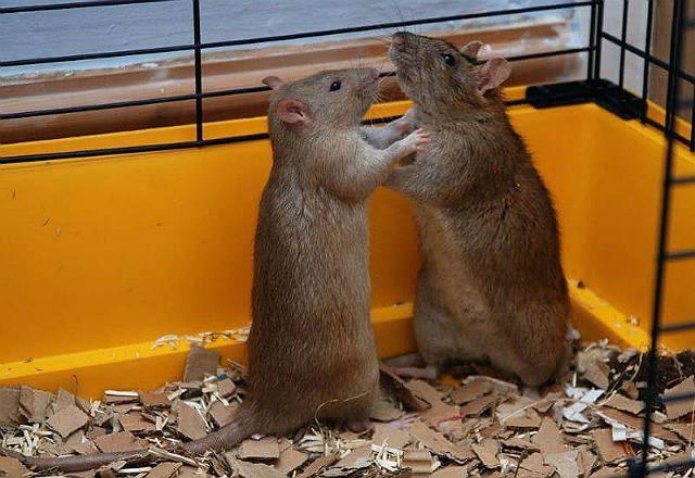 Язык тела крыс - драки