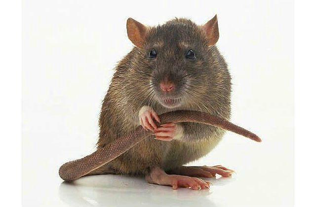 Язык тела крыс - хвост