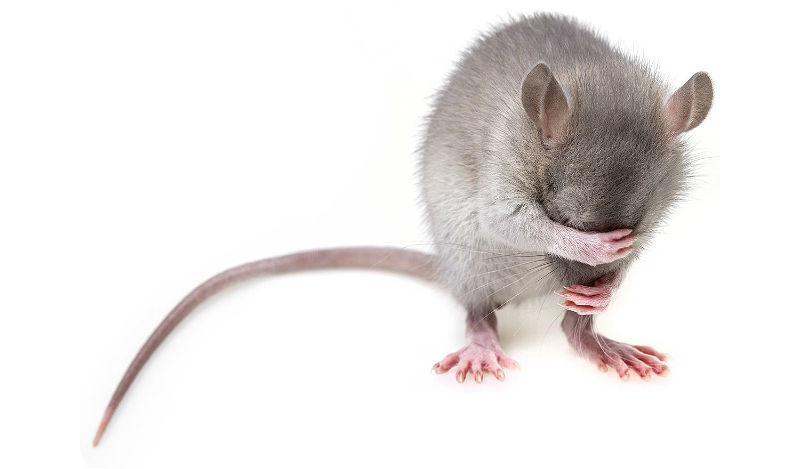 Язык тела крыс - звуки и жесты