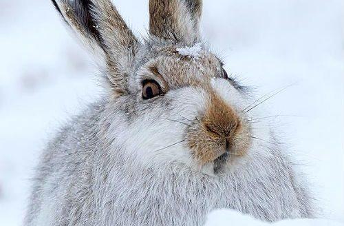 Как зимует заяц