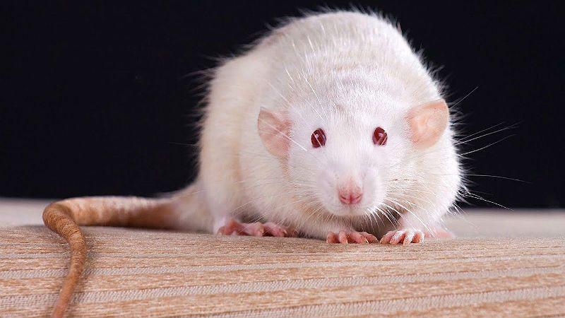 Белая крыса - главное фото
