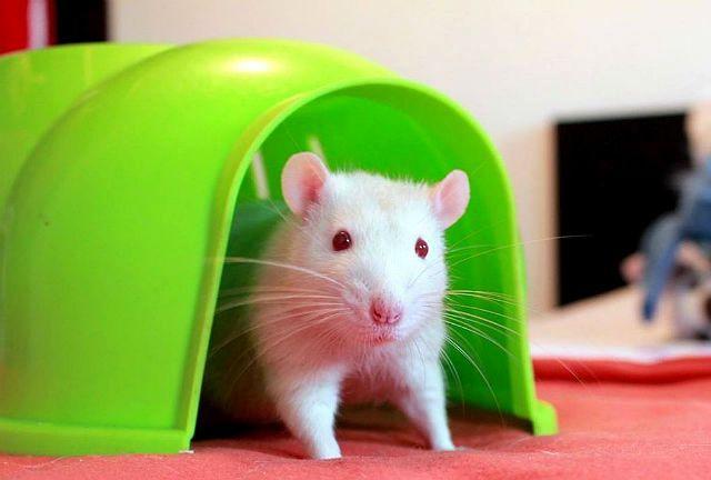 Белая крыса - приручение