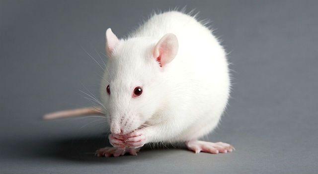 Белая крыса - экстерьер