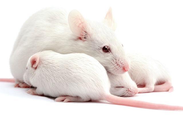 Белая крыса - разведение