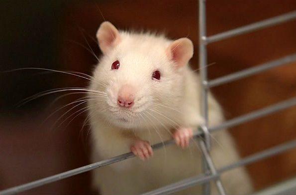 Белый крысенок