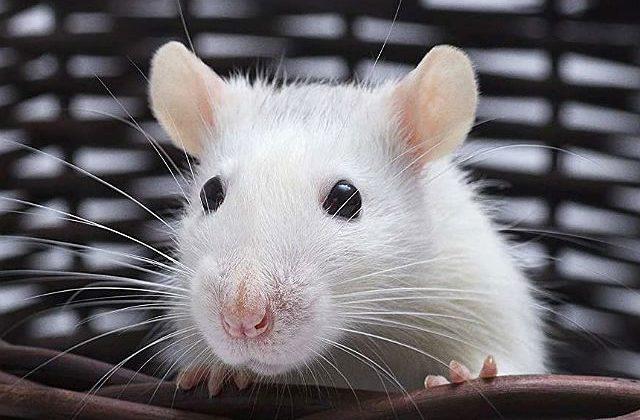 Белая крыса - мордочка