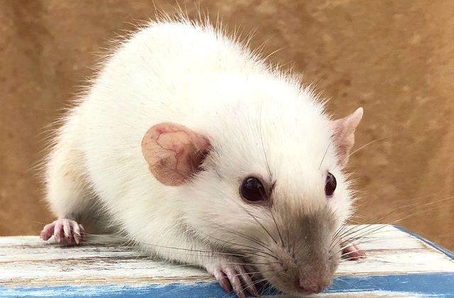 Белая крыса с темной мордочкой