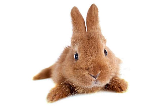 Бургундский крольчонок - мордочка