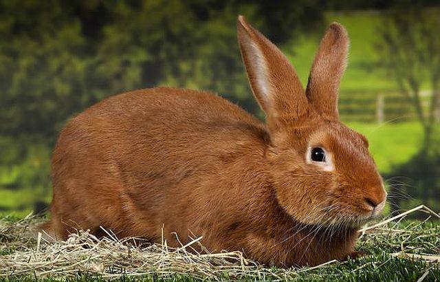 Бургундский кролик в домашних условиях