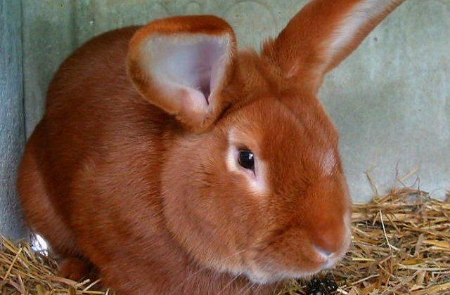 Бургундский кролик - голова