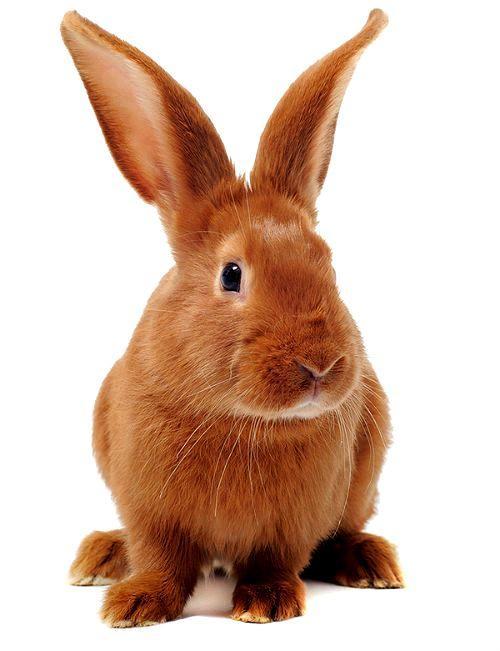 Бургундский кролик - окрас