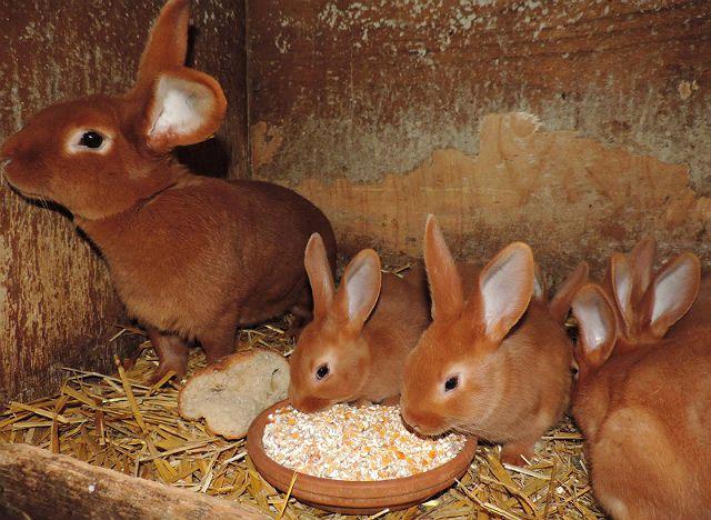 Бургундский кролик - кормление
