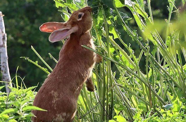 Бургундский кролик ест зелень