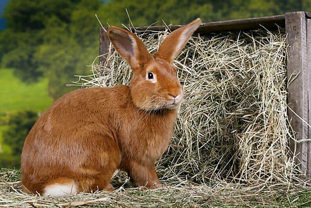 Бургундский кролик - содержание