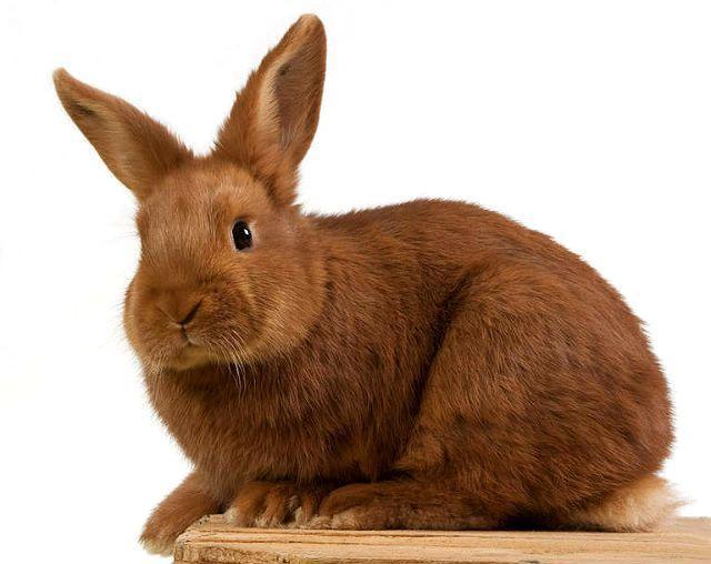Бургундский кролик - как выбрать