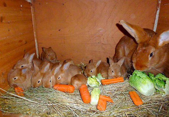 Бургундские кролики - кормление