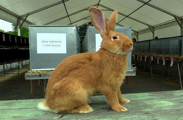 Кролик бургундский