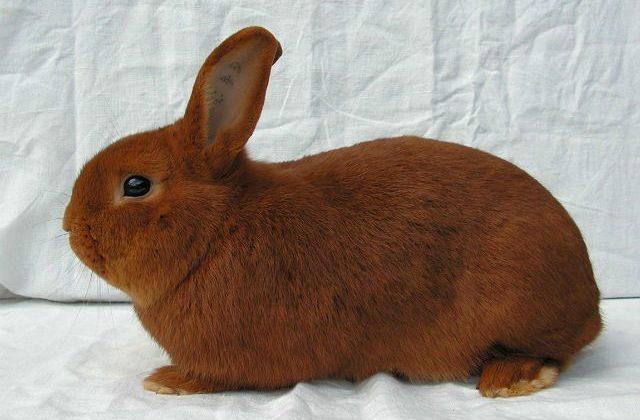 Бургундский кролик - вид сбоку