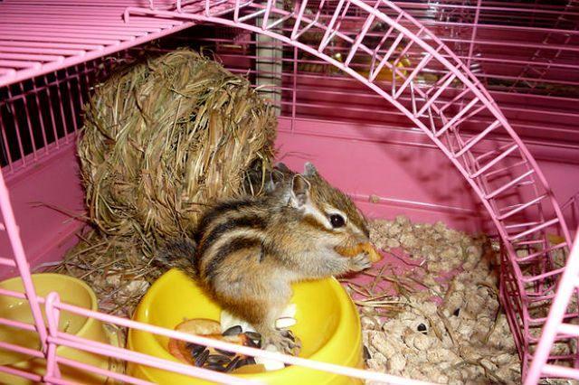 Бурундук в домашних условиях