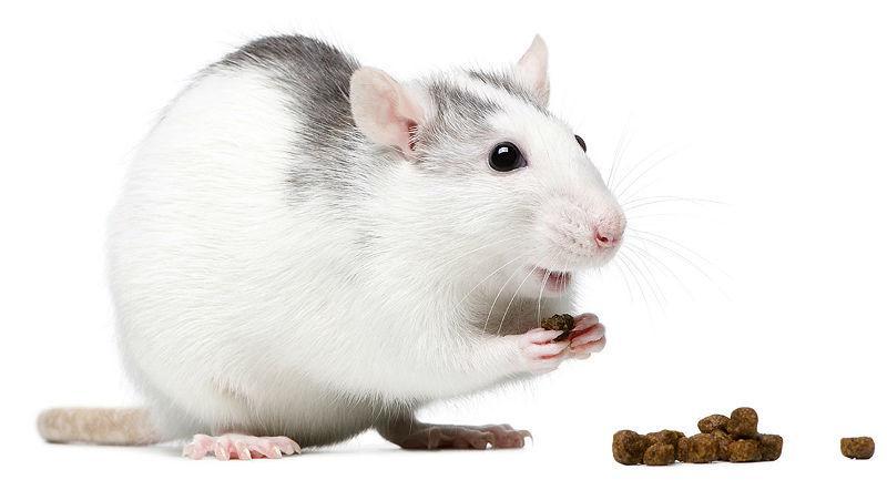 Чем кормить белую крысу