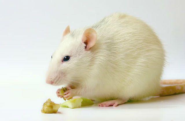 Чем кормить белую крысу - фрукты