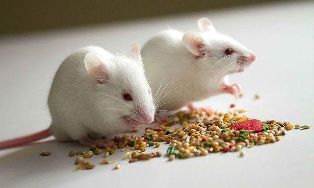 Чем кормить белую крысу - зерновые смеси