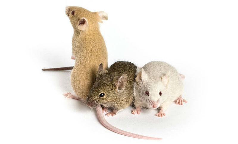 Декоративные мыши - главное фото