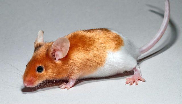Декоративная мышь рыже-белого окраса
