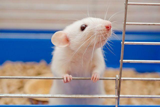 Декоративная мышь белая