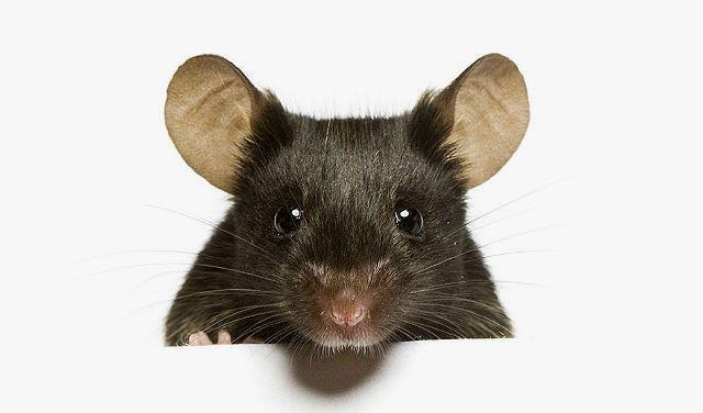 Декоративная мышь - голова
