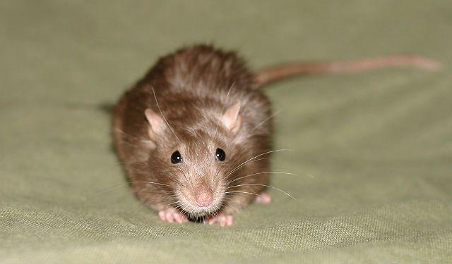 Декративная крыса сатиновая