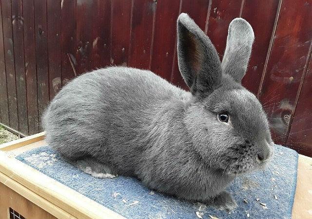 Голубой венский кролик - внешний вид