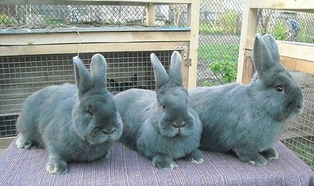 Голубой венский кролик - плодовитость