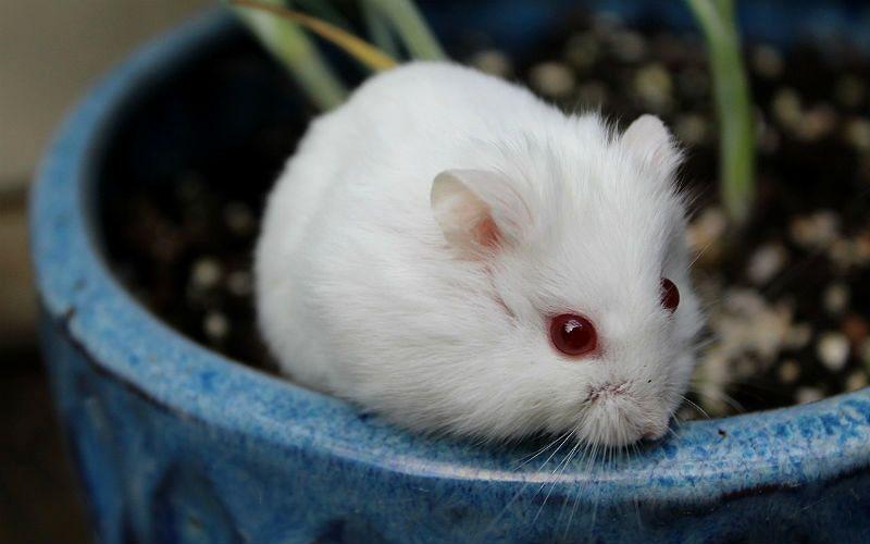 Хомяк-альбинос - главное фото