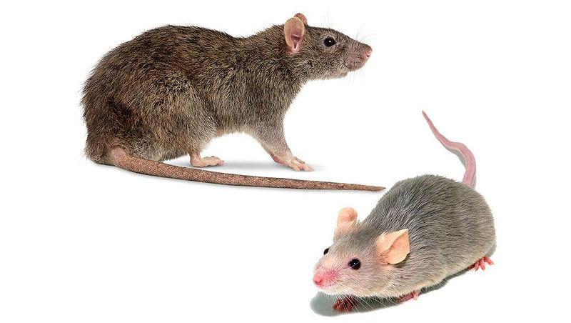 Как отличить мышь от крысы - главное фото