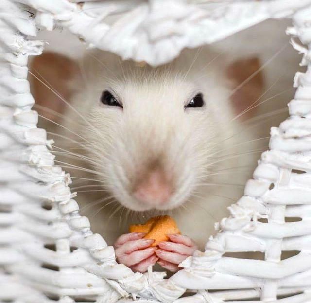 Кормление белой крысы - лакомства