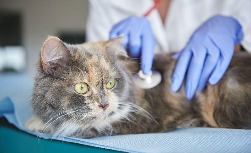 Кошка часто дышит животом - главное фото