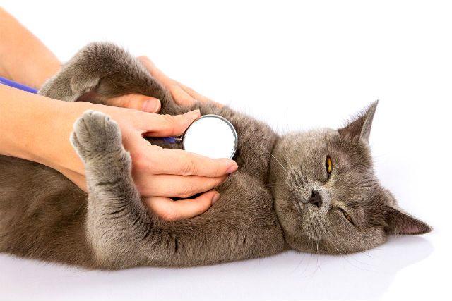 Кошка часто дышит животом - патологии