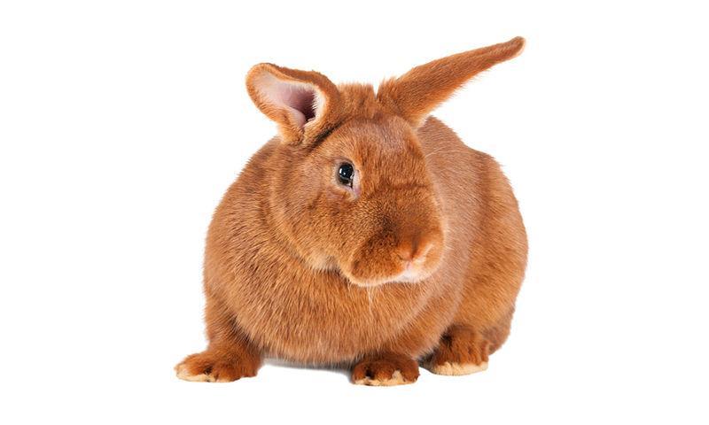Красный новозеландский кролик - главное фото