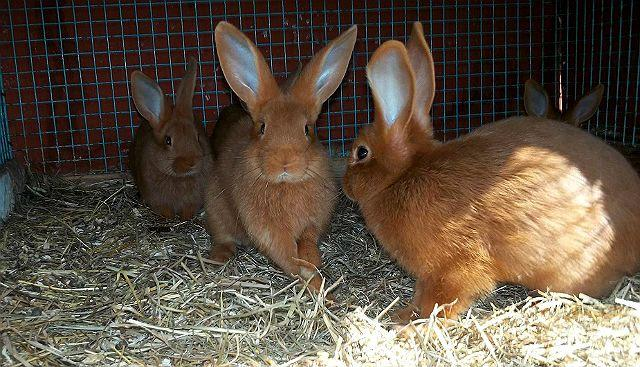 Красные новозеландские кролики