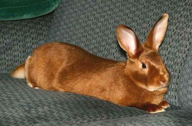 Красный новозеландский кролик в домашних условиях
