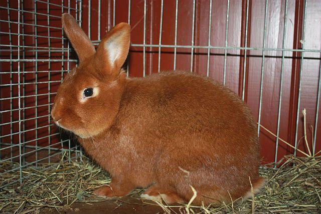 Красный новозеландский кролик - как выбрать