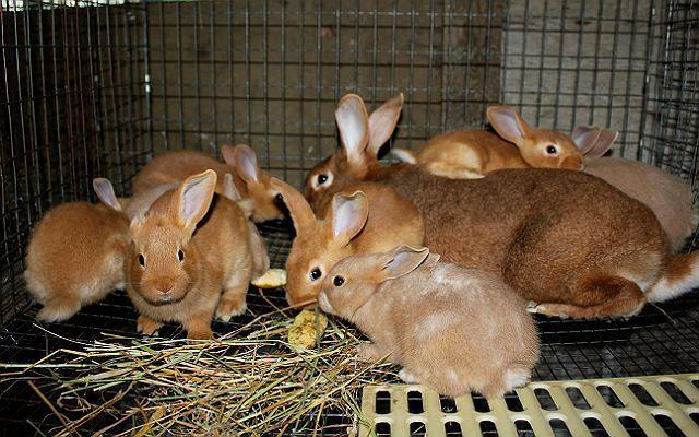 Красный новозеландский кролик - разведение